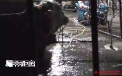 警方抓获29人!给黄牛残忍注水120斤的屠