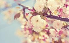 海棠不争春