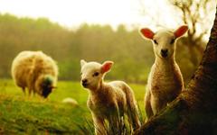 做一只温顺的羔羊
