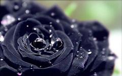 送你一枝黑玫瑰